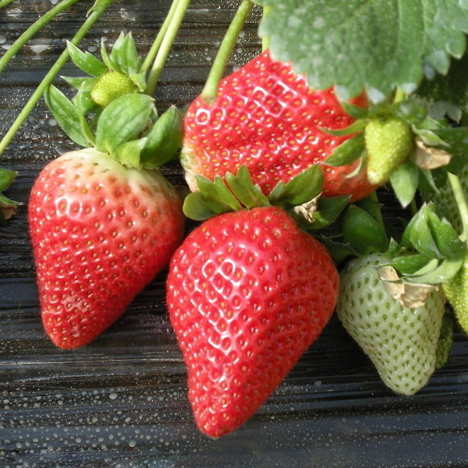 2016Hot Sale NEW AND MAGIC 600Pcs Red Giant Strawberry Seeds Fruits Ornamental Home Office Plant Support Wholesale(China (Mainland))