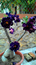 Buy Purple Black Desert Rose seeds adenium obesum seeds bonsai flower seeds double petals potted plant home garden 5 pcs/bag for $1.72 in AliExpress store
