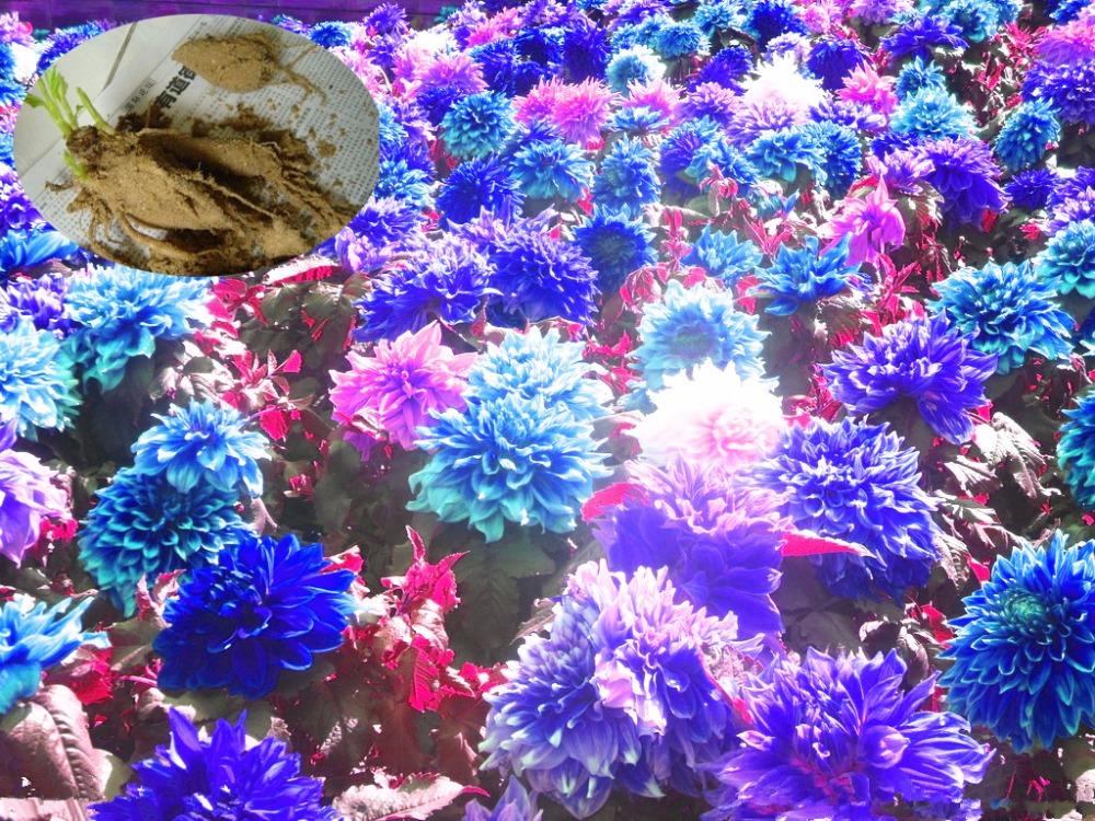 True dahlia bulbs,dahlia flower,(not dahlia seeds),bonsai flower bulbs,Symbolizes courage and lucky,home garden plant-1 bulbs(China (Mainland))