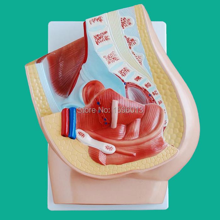 HOT Median section of female pelvis model, Anatomy female pelvis model<br><br>Aliexpress