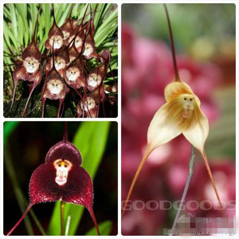 Flower pots planters Beautiful Monkey face orchids seeds Multiple varieties Bonsai plants Seeds home & garden 100 - dansy's store