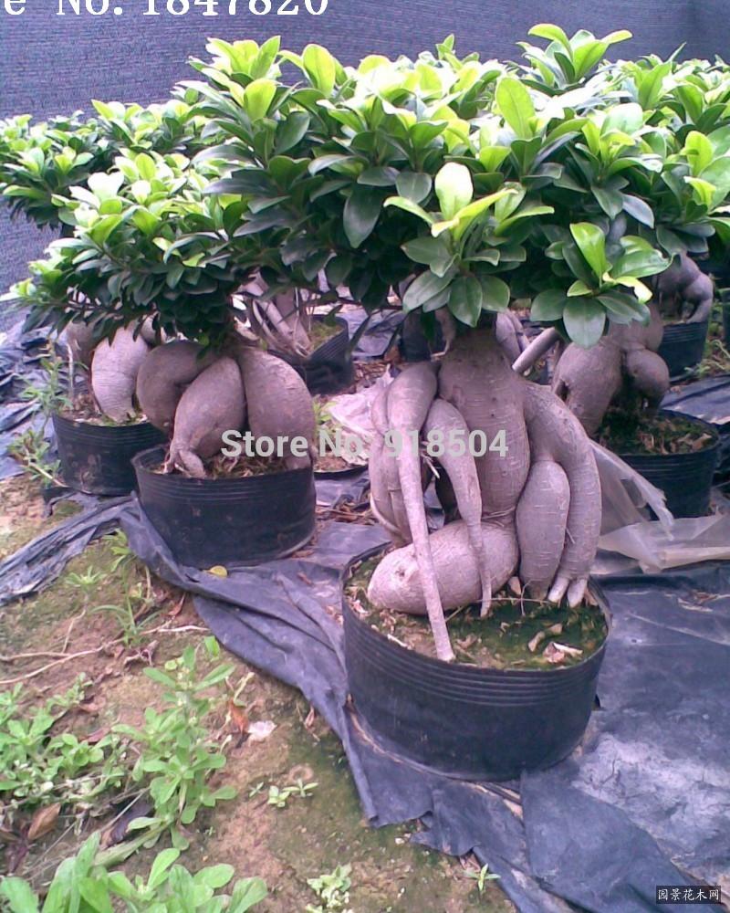 AAA Rare Genuine 50pcs Ficus Ginseng seeds Ginseng Herbs seeds Banyan tree seeds Free Shipping(China (Mainland))