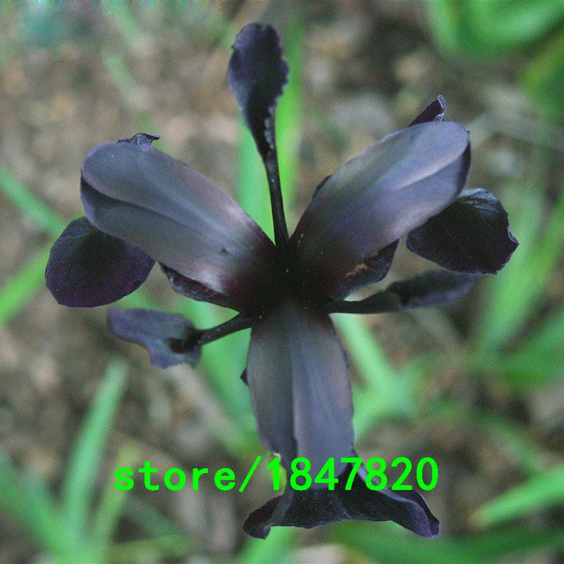 Nero semi di orchidea acquista a poco prezzo nero semi di for Semi orchidea
