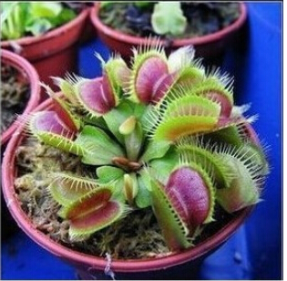 HOT Sale 10PCS Potted Insectivorous Plant Seeds Dionaea Muscipula Giant Clip Venus Flytrap Seeds(China (Mainland))