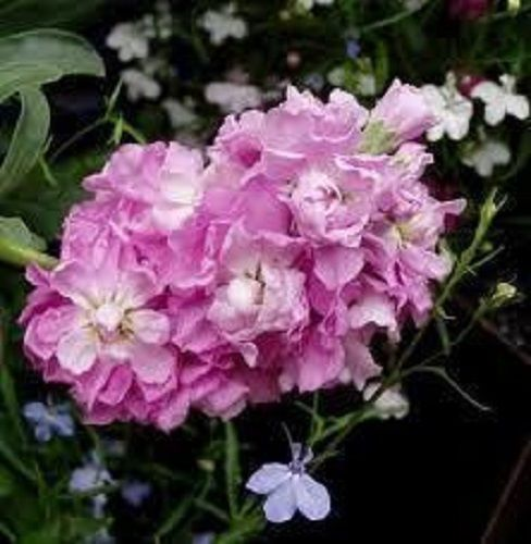 100pcs/lot PINK EVENING OR NIGHT SCENTED STOCK FLOWER SEEDS / ANNUAL /GREAT GIFT(China (Mainland))