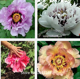 Very Rare 'Luo Yang' Dark Blue Tree Peony Flower Seeds, Professional Pack, 40 Seeds / Pack, New Variety Light up Your Garden Mul(China (Mainland))
