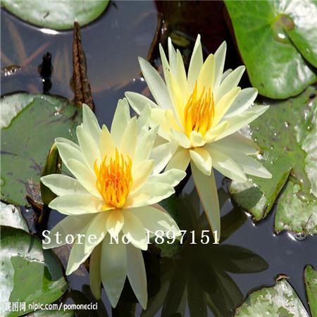 Popular lotus flowers for sale buy cheap lotus flowers for for Lotus plant for sale