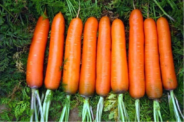 Wucun ginseng carrot, carrot seeds, non-genetically modified fruits and vegetables seeds - 100 Seed particles(China (Mainland))