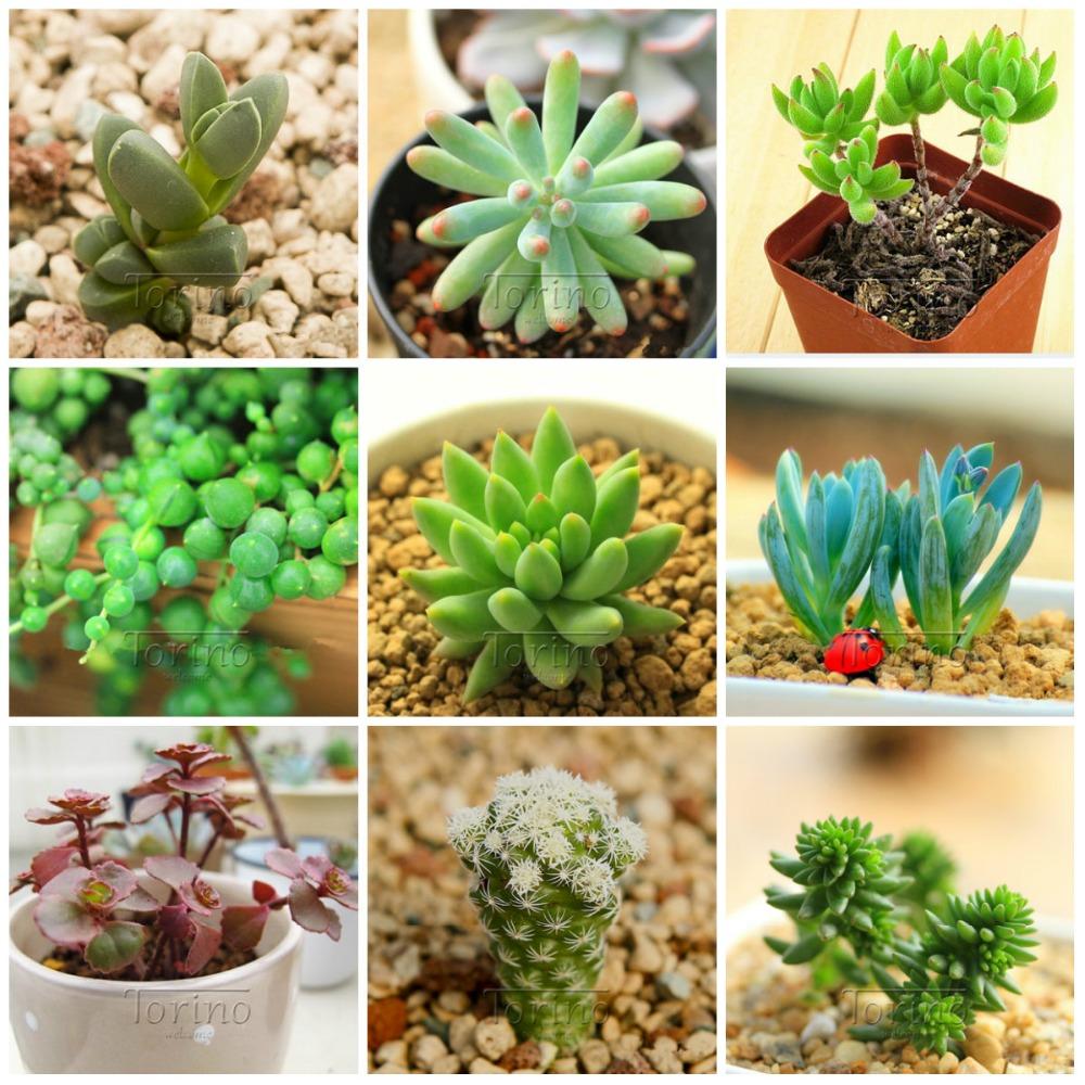 Compra diy cactus online al por mayor de china mayoristas for Suculentas por mayor