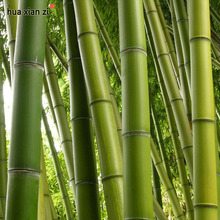 Buy Bamboo Seeds Fresh Bamboo Seed Bonsai Tree Phyllostachys Pubescens DIY Home Garden Plant 60 seeds/bag for $1.36 in AliExpress store