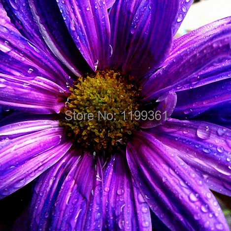 MY Printed Oil Painting Modern Wall Art Home Decoration Canvas Prints Picture No Frame Realistic Large Purple Daisy Flower(China (Mainland))