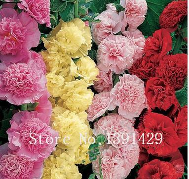 Commentaires rose tr mi re semences faire des achats en - Rose tremiere en pot ...