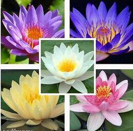 Карликовое дерево Lotus & 50 карликовое дерево china seeds dionaea muscipula