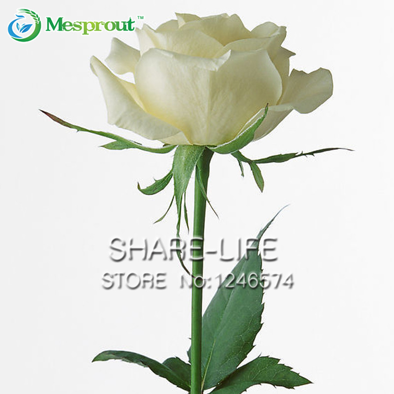 Garden of White Roses 100 Seeds Fragrant Flowers and Potted Plants Growing Roses Seed(China (Mainland))