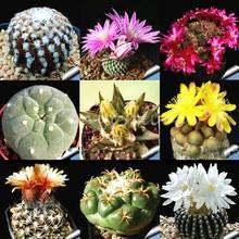 10pcs/lot mixed cactus Echinopsis  Ball Cactus Perennial Succulent Plants office Mini plant succulent planting(China (Mainland))