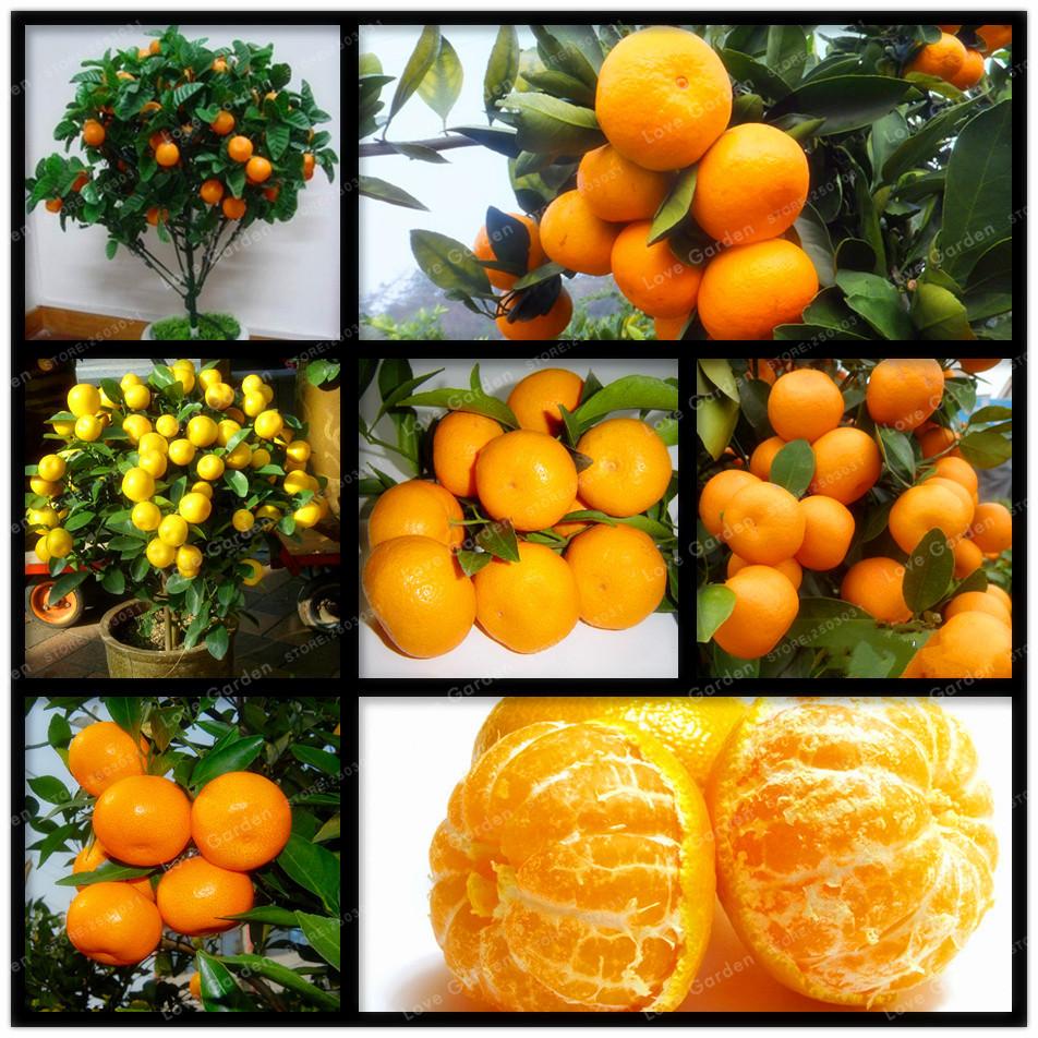 30 Pcs Citrus seed Bonsai Mandarin Orange Seeds Edible Fruit Bonsai Tree Seeds Healthy Food Home Garden Easy To Grow(China (Mainland))