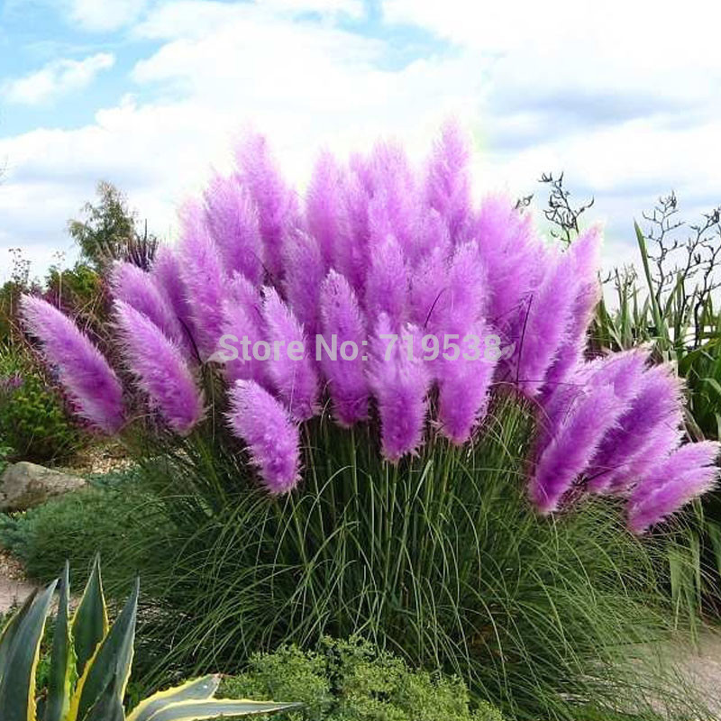 100pcs New Rare Impressive Purple Pampas Grass Seeds Ornamental home garden Plants Flowers seeds Cortaderia Selloana bonsai pot(China (Mainland))