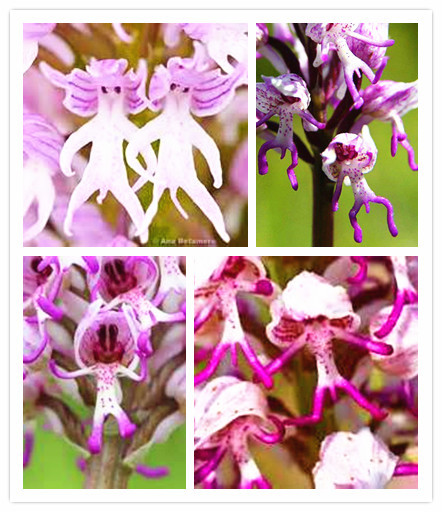 Flower pots planters 50 seed Monkey face orchids seeds man orchid Multiple varieties Bonsai plants Seeds