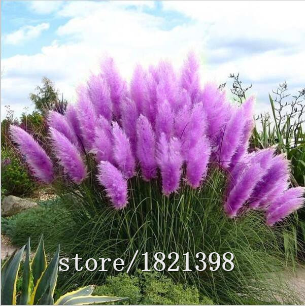 Big sale Pretty Flowers seed Rare Purple Pampas Grass Garden plant Flowers Cortaderia Selloana Flower seeds 20pcs(China (Mainland))