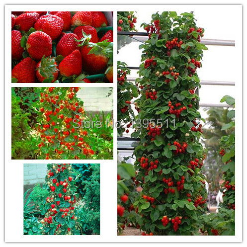 600 PCS Red giant Climbing Strawberry Seeds Fruit Seeds For Home & Garden DIY rare seeds for bonsai Free Shipping(China (Mainland))