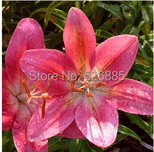 burpee perfume Lily Seeds flower Germination 99 Cheap Flower seed creepers bonsai garden supplies pots planters