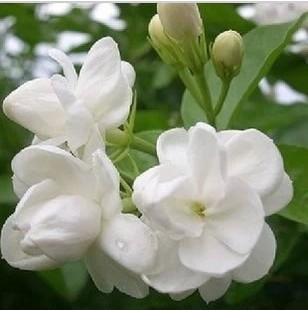 20 seeds/pack White Jasmine Seeds Blending Easily Potted Balcony Garden Decoration Bonsai Flower Seeds(China (Mainland))