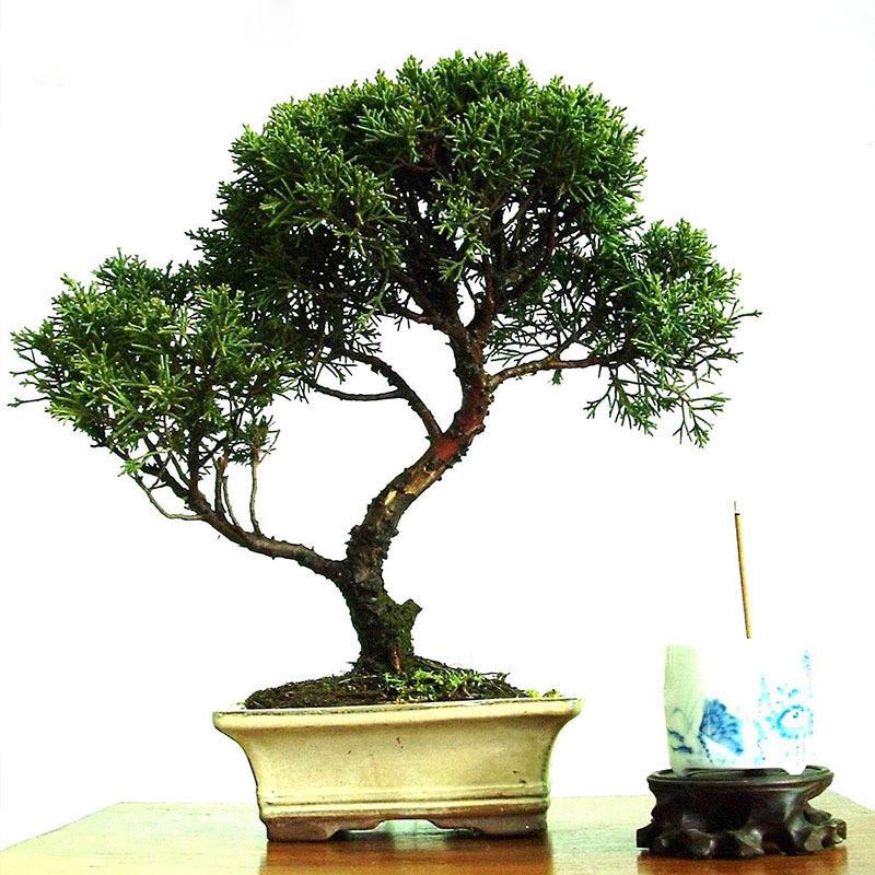Hot Sale Unique Cypress Tree Seeds For Garden Garden