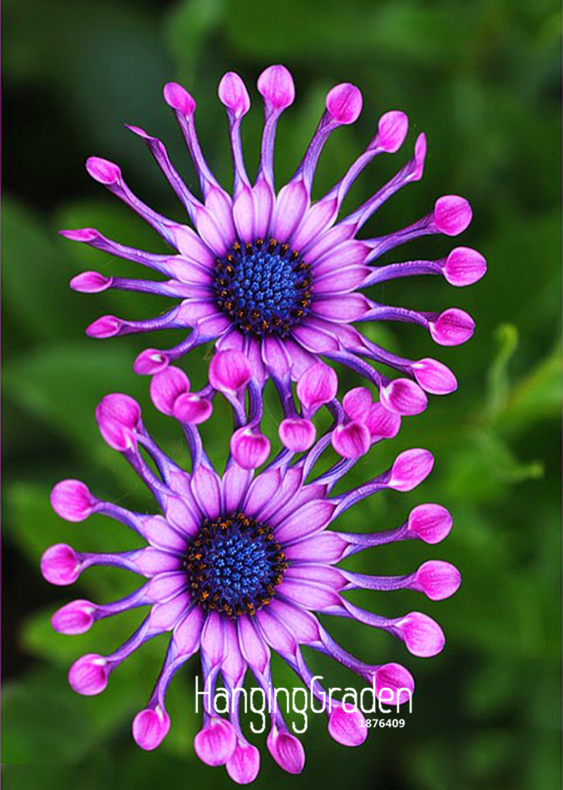 Loss Promotion!5 Color Available Osteospermum Seeds Potted Flowering Plants Blue Daisy Flower Seeds,50 Seed/Pack,#WUMIT5