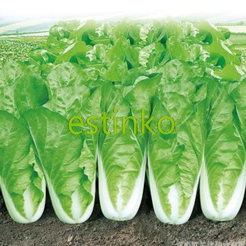 100pcs/lot Chinese Cabbage Seeds Vegetable Seeds Cabbage Vegetable Organic Home Garden Bonsai Plant DIY Fast Grow Free Shipping(China (Mainland))