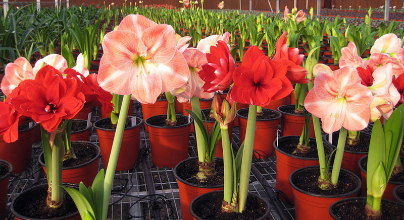 Potted flowers white amaryllis bulbs hippeastrum bulbs for Bulbes amaryllis conservation