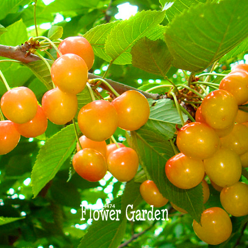 New Fresh Seeds 10 Pcs/Bag Yellow Cherry Seed Balcony Garden Fruit Bonsai Potted Plant Green Bonsai Cherry Fruits Seed,#TJDKVE
