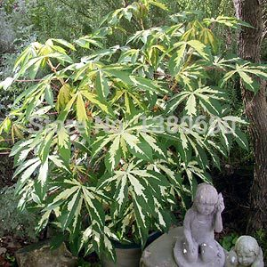 50 Seeds/Pack.Potted Annual Flower Seeds Variegated Tapioca.DIY Home Garden &Bonsai Plant Seeds.(China (Mainland))