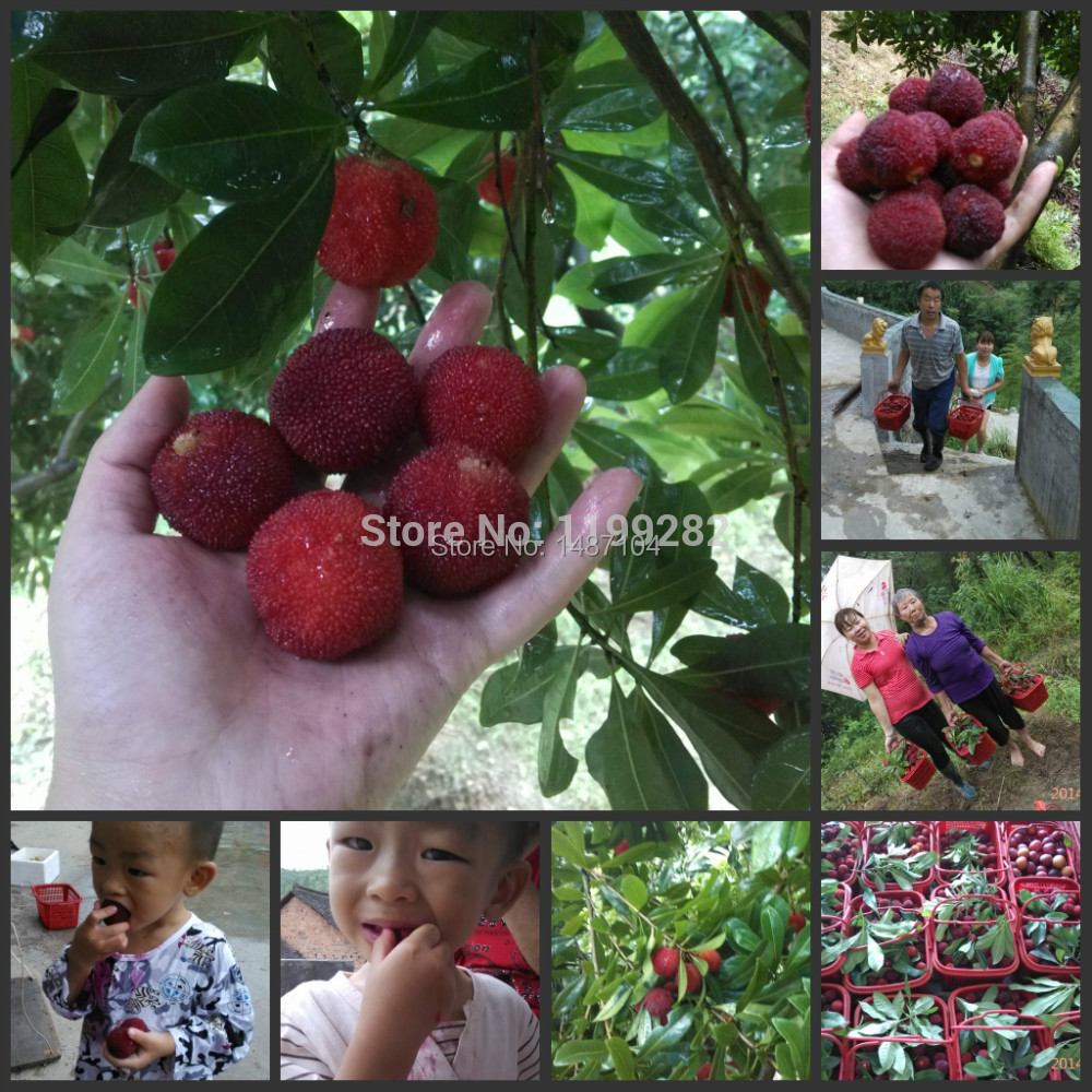 10 SEEDS Chinese Black Bayberry Seeds, Yangmei Tree Seeds, Delicious Appetizers Fruit * Free