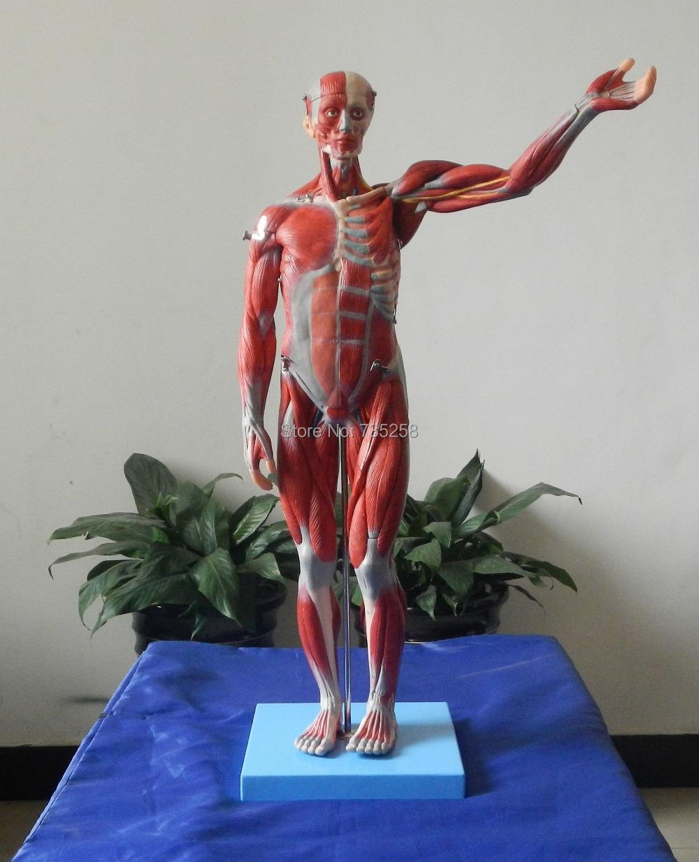 Model 78 cm body Muscle Anatomy ,Muscle Anatomy Model