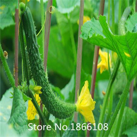 home & garden 100New Home Garden Plant Seeds PEPINO ...