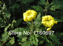 Buy 1000pcs Yellow chrysanthemum seeds flower pots planters fo casa jardim Bonsai gardedn plants flower seeds sementes de flores for $9.70 in AliExpress store