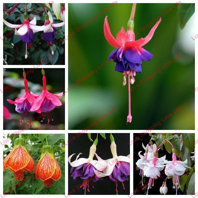 Fuchsia Hybrida Hort Seeds Bonsai Lantern Flowers For Garden Home 50 seeds bag