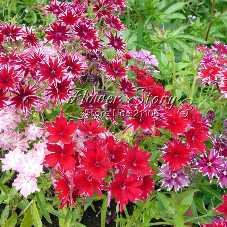 New Arrival Home Garden Plant 100 Seeds PHLOX TWINKLE STAR Phlox Drummondii Cuspidata Flower Seeds