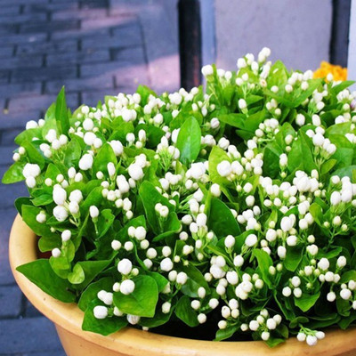 20 seeds/pack Balcony potted jasmine seeds flower easy plant seasons sowing flowers - dress factory r store