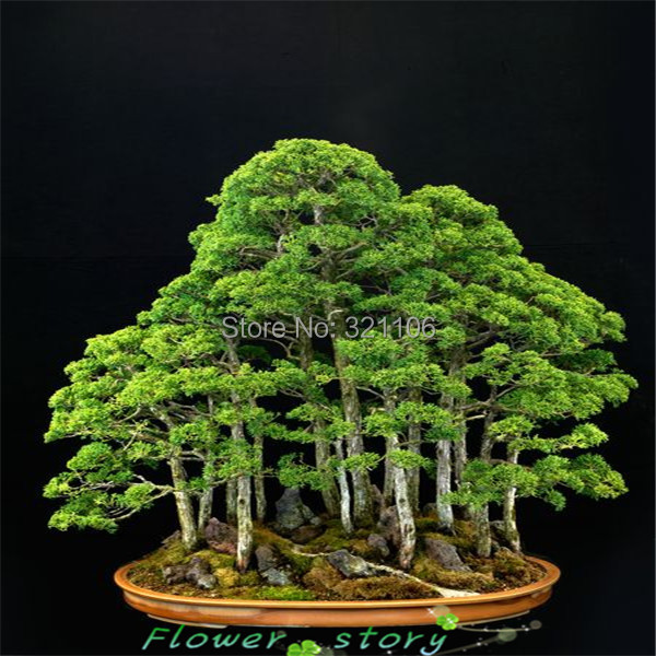 20 juniper bonsai tree Seeds potted flowers office bonsai purify the air absorb harmful gases free