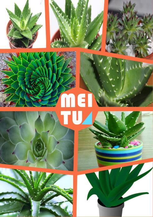 Aloe Succulente-Acquista a poco prezzo Aloe Succulente lotti da fornitori Alo...