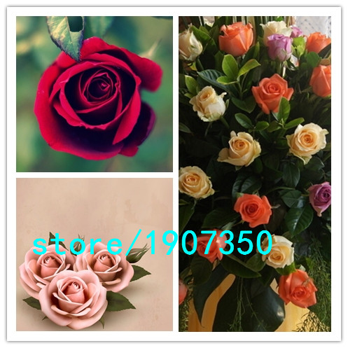 Flower pots planters 20 kinds of 100 seeds rainbow rose for How to plant rainbow rose seeds
