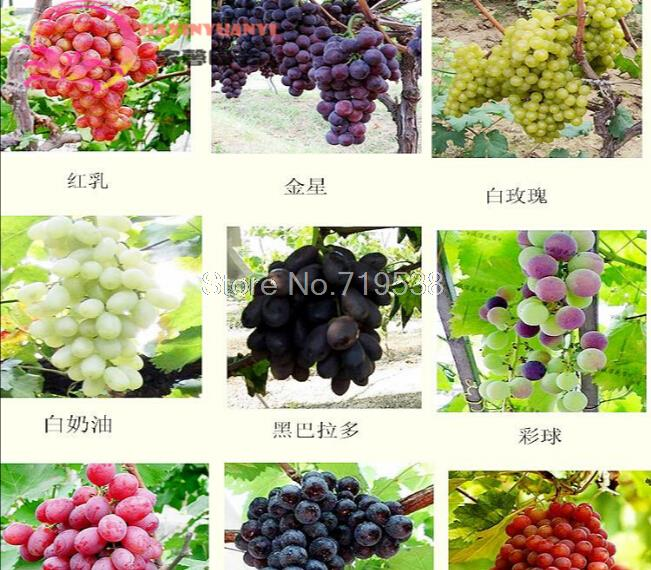 Table grape reviews online shopping table grape reviews for Table grapes