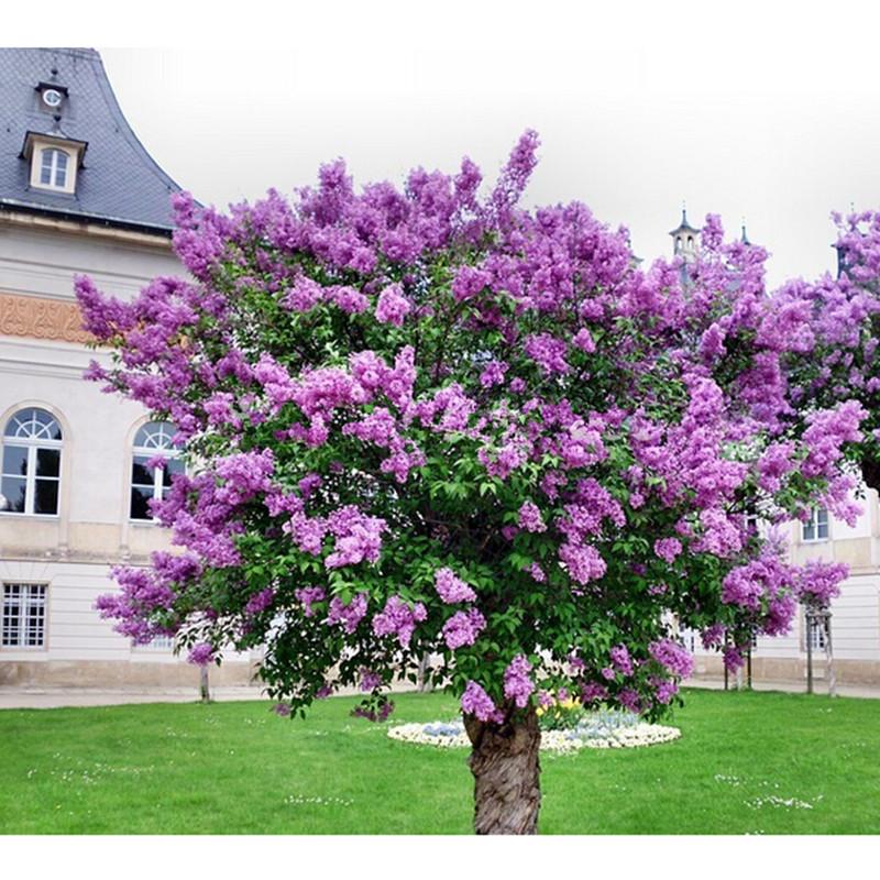 Plantation lilas arbres promotion achetez des plantation lilas arbres promotionnels sur - Arbre lilas des indes ...
