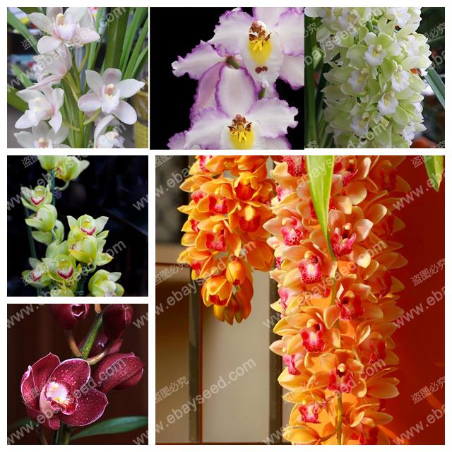 Chinese cymbidium orchid balcony bonsai seeds bonsai garden flower seed orchid semente decorative flowers rare 100