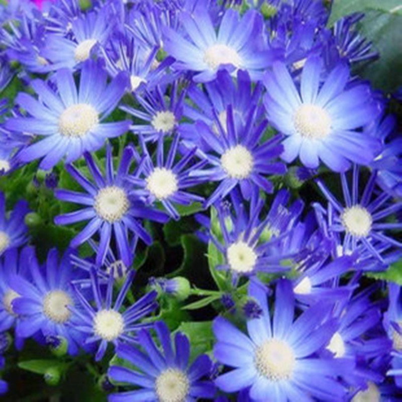 Free Shipping 50 Blue daisy seeds hardy plants flower seeds Seasons easy to grow(China (Mainland))