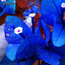 Buy New Real Blooming Rare Blue Plants Bougainvillea Spectabilis Willd Bonsai Plant Seeds 100 Particles / lot for $1.32 in AliExpress store