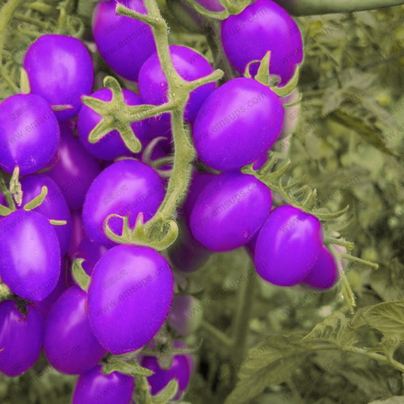 A Pack 100 Pcs Purple Cherry Tomatoes Seed Balcony Fruits Seed Vegetables Potted Bonsai Potted Plant