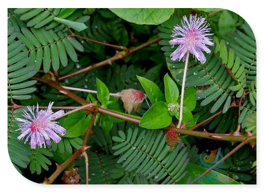 Mimosa Seeds Pudica Shy Sensitive Plant Pink Flower -100 seeds(China (Mainland))