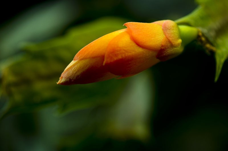 Yellow Schlumbergera Seed Balcony Bonsai Flower Schlumbergera Zygocactus Truncatus Seeds 120 Pcs